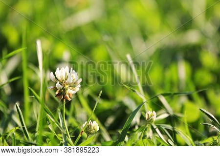 Meadow With White Clover Flowers. Dutch Clover On Lawn In Spring Or Summer Garden. Lawn Carpet With