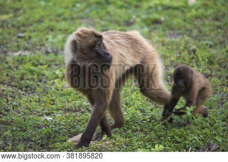 Gelada Baboons (theropithecus Gelada) - Portrait. Monkey, Africa.
