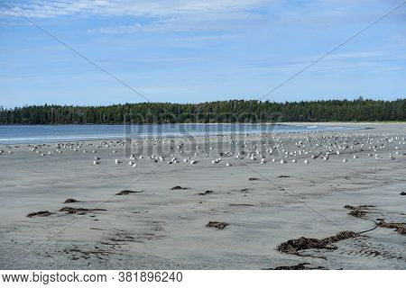 A Large Flock Of Seagulls Or Larus Canus, Sitting On The Beach At Low Tide Overlooking The Ocean, In