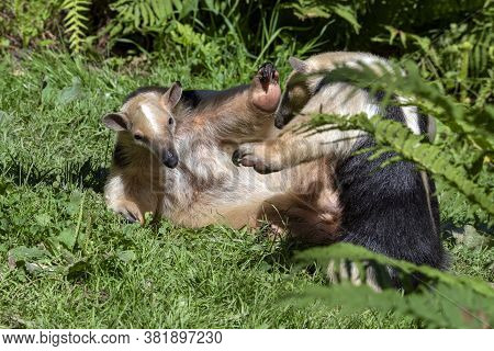 Southern Anteater Tamandua Tetradactyla, They Play On The Grass