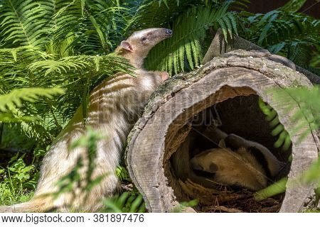 Southern Anteater Tamandua Tetradactyla, Standing  By A Tree