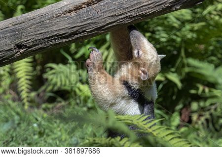 Southern Anteater Tamandua Tetradactyla, Standing By The A Tree