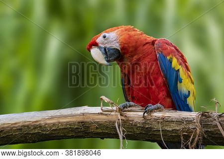 Parrots: Scarlet Macaw (ara Macao) , Close Up.