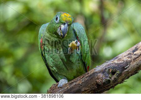 Orange - Winged Parrot , Amazona Amazonica, Portrait