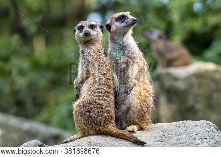 Couple Of Meerkat Suricata Suricatta, African Native Animal, Small Carnivore.
