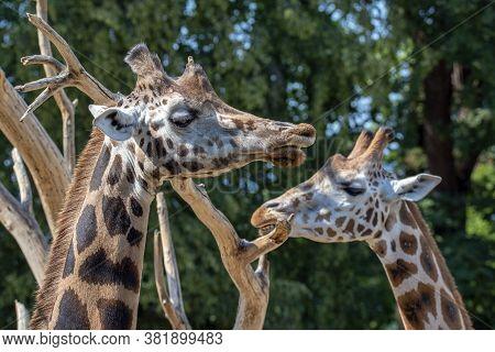 Closeup View Of Giraffe Face .giraffe Couple