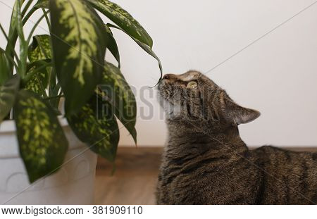 The Cat Is Sniffing A Green Flower In A Pot. Gray Cat Sniffs A Flower At Home. The Cat Lies And Snif