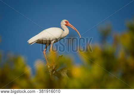 White American Ibis In Mangrove Bush On Lakeshore Of Mexico