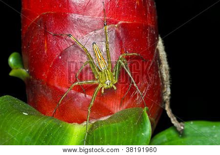 Lynx Spider With The Red Flower (oxyopes)
