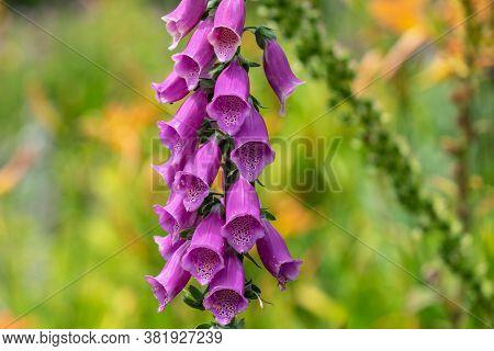 Digitalis Purpurea, The Foxglove Or Common Foxglove Or Ladys Glove