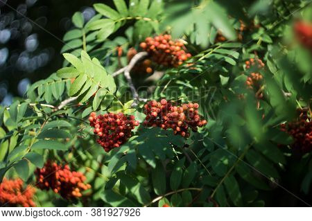 Branches With Rowan Berries On A Background Of Rowan Leaves