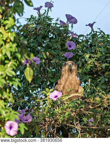 Black Kite Bird In Sitting In Bunch Of Flower Trees And Looking Straight Towards Camera. The Black K