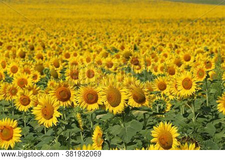 Field Of Sunflowers.sunflowers Against The Sun. Landscape From A Sunflower Meadow. Produce Environme
