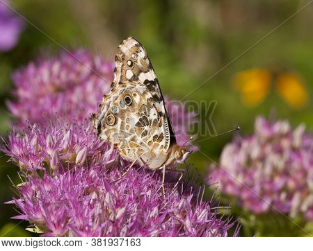 A Beautiful Painted Lady Butterfly Feeds On A Sedum Flower In An Autumn Midwest Garden.