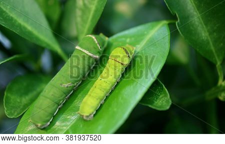 Closeup A Smaller Citrus Tree Caterpillar With A Blurry Bigger One Resting On The Lime Tree Leaf