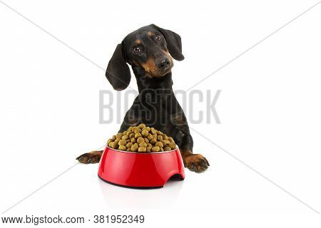 Dog Ready For Eat Food. Dachshund With Paws Over Black Edge Next To A Red Bowl. Tilting Head Side. I