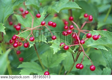 Bright Berries Of Viburnum On Background Of Green Foliage. Ripe Fruits Of Guelder-rose Hang On Branc