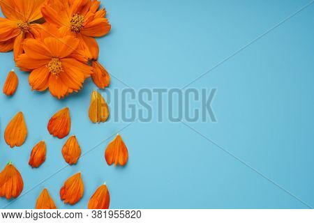 Neatly Laid Petals And Blossoming Buds Of Cosmeya On A Blue Background
