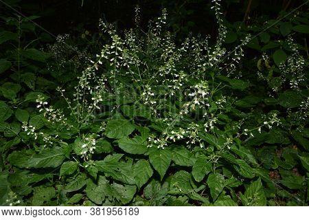 Circaea Lutetiana - Wild Plant. Plant Blooming In Summer.