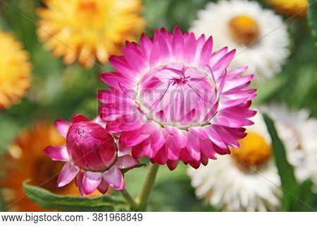 Xerochrysum Bracteatum Blossoming In Garden. Beautiful Flower Of Strawflower In Bloom. Golden Everla