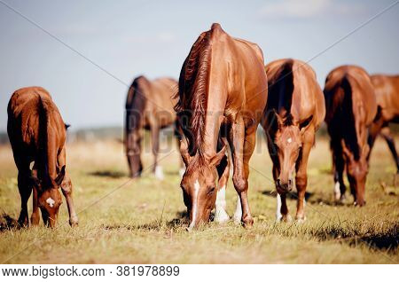 A Herd Of Sporting Horses Grazing On The Field. A Herd Of Red Sports Horses.