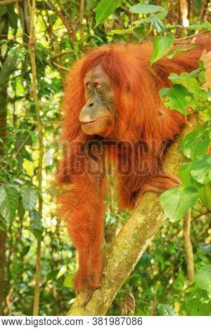 Female Sumatran Orangutan (pongo Abelii) Sitting In A Tree In Gunung Leuser National Park, Sumatra,