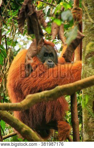 Male Sumatran Orangutan (pongo Abelii) Sitting In A Tree In Gunung Leuser National Park, Sumatra, In