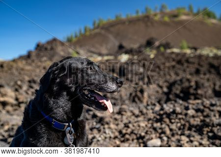 Black Labrador Retriever Dog Enjoys Visiting Lava Lands At Newberry Volcano National Monument In Ore