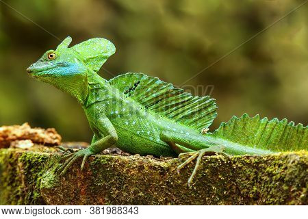 Male Plumed Basilisk (basiliscus Plumifrons) Sitting On A Stump, Costa Rica