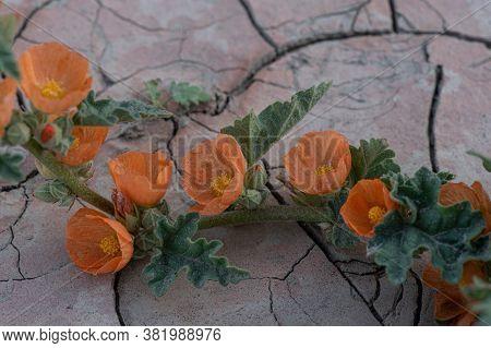 Desert Globemallow, Wildflower, In The Desert Cracked Floor Of A Southern California Desert, With Pl