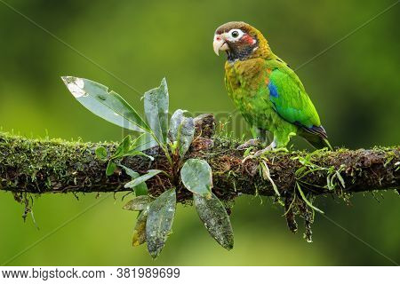 Brown-hooded Parrot (pyrilia Haematotis) Sitting On A Tree Branch