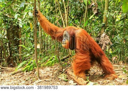Male Sumatran Orangutan (pongo Abelii) Standing On The Ground In Gunung Leuser National Park, Sumatr
