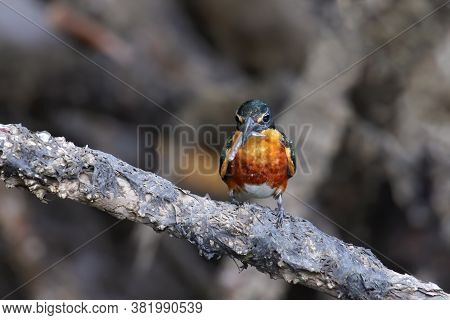 American Pygmy Kingfisher (chloroceryle Aenea) Perched On A Stick, Costa Rica