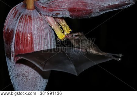 Orange Nectar Bat (lonchophylla Robusta) Feeding At Banana Flower, Costa Rica