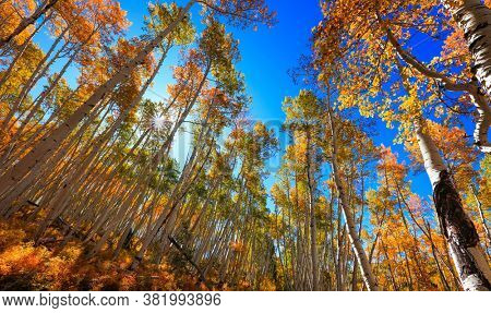 Tall Aspen trees with foliage reaching to sky