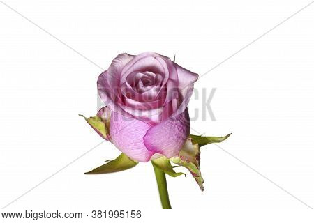 Rose With Scented Petals On A Long Stem With Thorns On A White Isolated Background