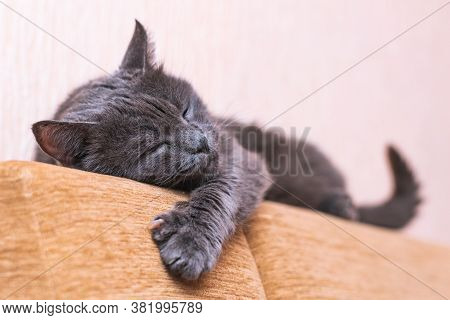 Beautiful Gray Cat Resting On The Couch Stretching Its Front Paw.