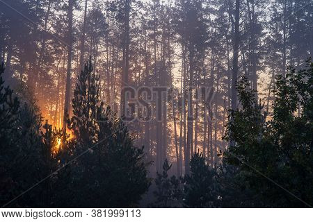Sunrise In A Pine Forest. The Rays Of The Sun In The Morning Shining Through The Branches Of Trees I