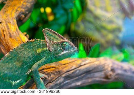 Green Chameleon In The Terrarium. Chameleon Look.