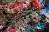 Painted rock lobsters in the coral reef poster