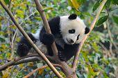 a Young giant panda bear climbing tree poster
