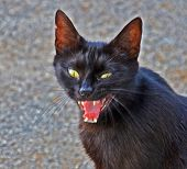 evil and angry black cat with open jaws poster