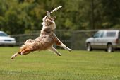 A dog jumps stretches out and opens mouth wide to try and catch frisbee. poster