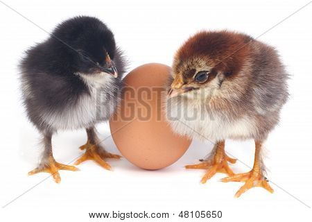 poster of Two fluffy chicken stand near the eggs isolated on white