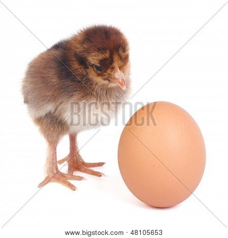 fluffy brown chick waits for the eggs to hatch from his friend poster