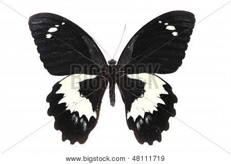 Papilionidae: black And White Butterfly