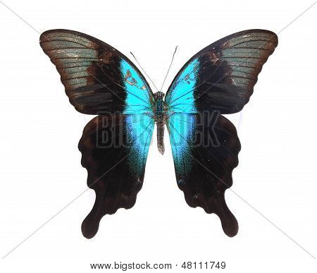 Papilionidae: blue And Black Butterfly