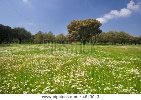 Beautiful Spring Landscape With Daisies