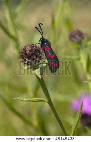 a six spot burnet moth zygaena filipendulae resting on a knapweed flower poster