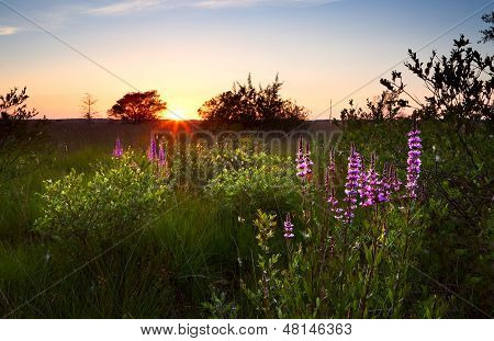Summer Sunset Over Swamp With Wildflowers